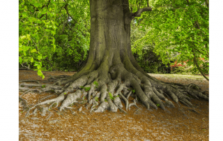 large tree with extensive roots