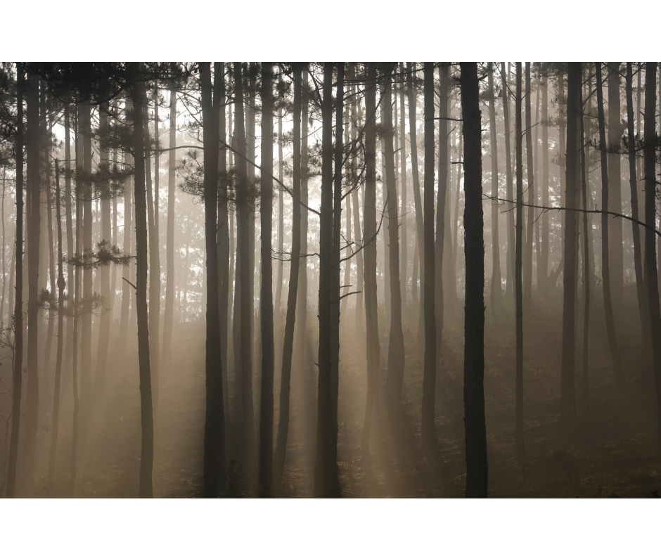 Forest Light in the mist
